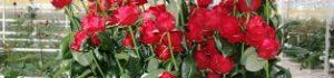 Вирощування троянд у теплиці
