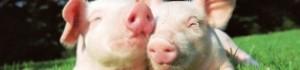Бізнес по розведенню свиней. Як відкрити свиноферму?
