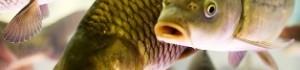 Рибне господарство: організація та нюанси промислового розведення риби