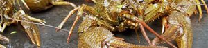 Розведення раків – прибуток у клешнях