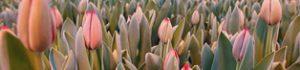 Як заробити на вирощуванні тюльпанів