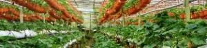 Вирощування полуниці цілий рік – смачна бізнес ідея