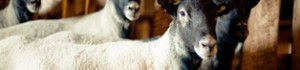 Розведення овець романівської породи
